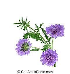 多年生植物, 針差し, 花, scabiosa, columbaria, 隔離された, 白, 背景