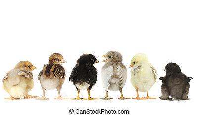 多数, ベビーひよこ, 鶏, 並ばれる, 白