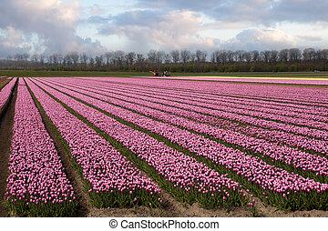 夜明け, オランダ, 春
