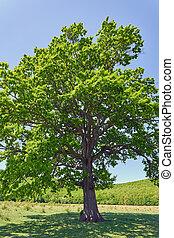 大きい木, オーク, 古い