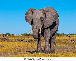 大きい, アフリカの象
