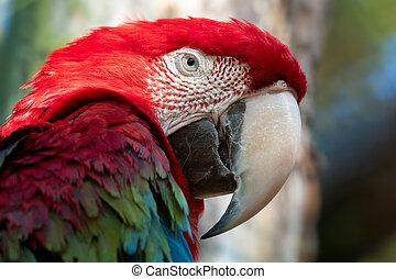 大きい, オウム, ara, 緑, macaw, chloroptera, 赤