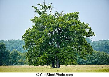 大きい, オーク, 古い, 牧草地, 木