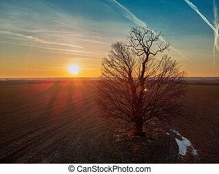 大きい, オーク, 日没, 木