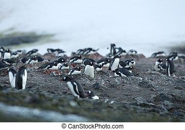 大きい, ペンギン, グループ, gentoo