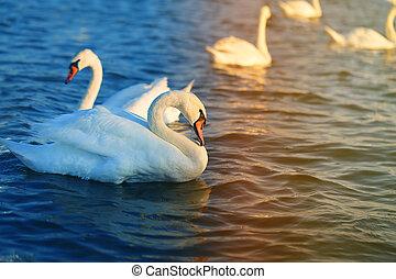 大きい, 白鳥, 鳥