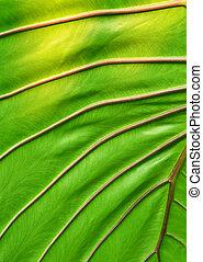 大きい, 葉, 緑