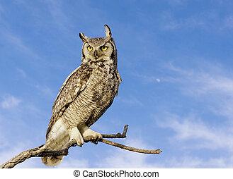 大きい 角状の フクロウ