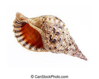 大きい, 貝殻
