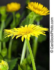 大きい, 黄色の花