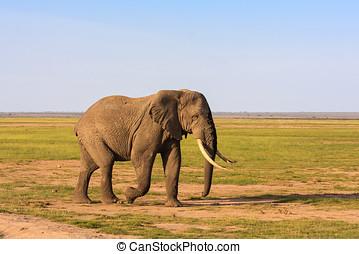 大きい,  amboseli,  kenya, サバンナ, 象