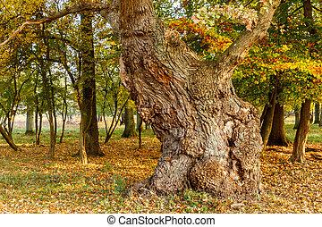 大きい, autumn., 古い木, オーク