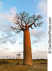大きい, baobab, 日没