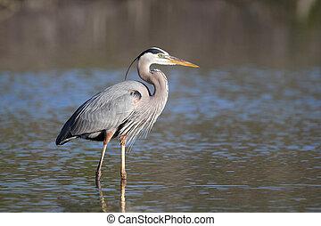 大きく 青い heron, -, 城砦, myers, 浜, フロリダ