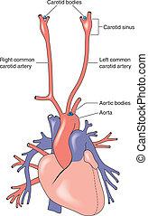 大動脈, 体, 頚動脈