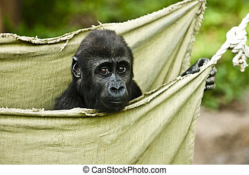 大猩猩, 婴儿, 在中, 绿色, 吊床