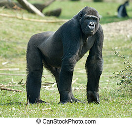 大猩猩, 男性