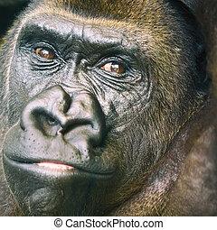 大猩猩, 黑色, 肖像