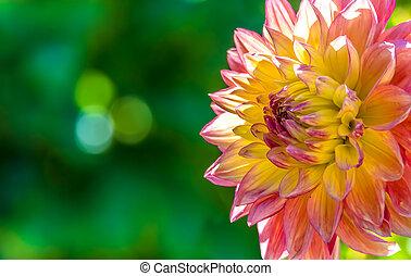 大麗花, 秋天, 花