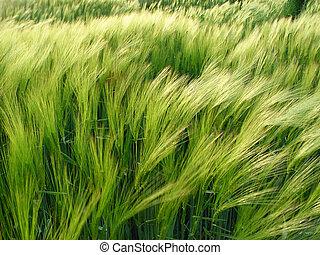 大麦, 風
