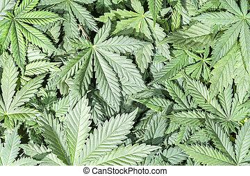 大麻, 綠色, 葉子