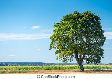 大, 孤独, 树, 在中, a, 美丽, 领域