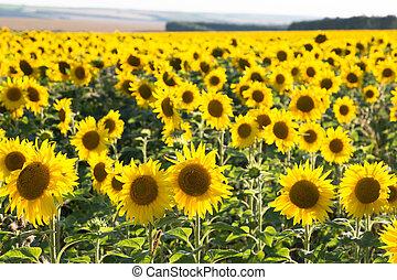 大, 開花, 點燃, 領域, 向日葵, 太陽