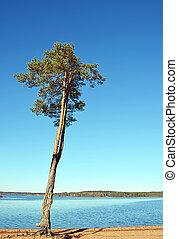 大, 阳光充足, 湖, 松树, 岸, 天