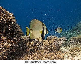 天使魚, 上, 大堡礁, 澳大利亞