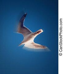天空, 海鷗, 清楚, 飛行