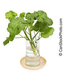 天竺葵, 在中, a, 在中, 透明, 玻璃