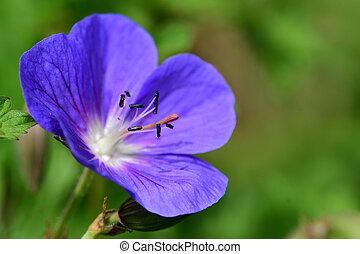 天竺葵, 花