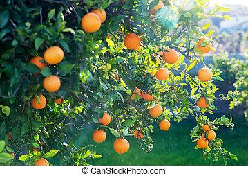 太阳闪光, 发光, 通过, 一, 桔子树