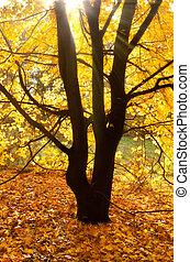 太阳, 电波, 在上, 一, 秋季, 树