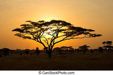 太陽, 木, serengeti, によって, 上昇, shinning, アカシア