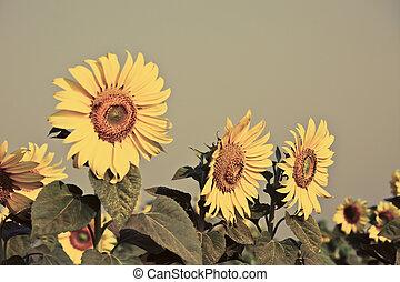 太陽, 花, フィールド, タイ