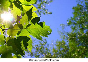 太陽, 葉, によって, 照ること