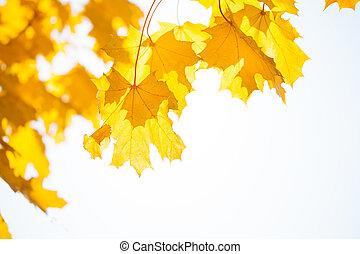 太陽, 葉, 空, 黄色, 秋, 上に, かえで