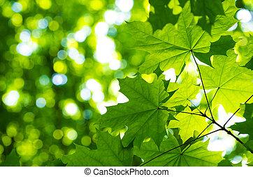 太陽, 葉, 緑