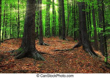 太陽, carpathian, 森林, ビーム