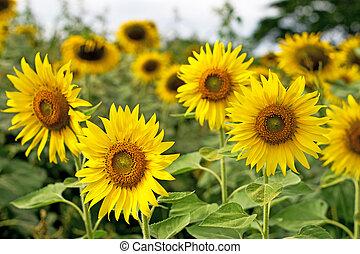 太陽, flower.