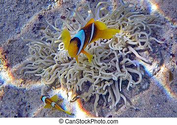 夫婦, ......的, clownfishes
