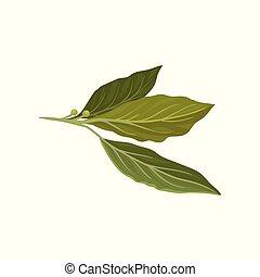 套間, 矢量, 圖象, ......的, 新鮮, 格林大聲叫嚷, leaves., 藥草, 使用, 在, culinary., 芳香, 調味品, 為, 盤