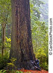 女孩, 嘗試, 擁抱, a, 巨大的紅杉