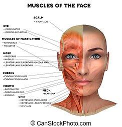 女性, 筋肉, 美顔術
