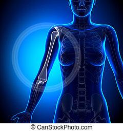 女性, 肱骨, -, 解剖學, 骨頭