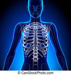 女性, 胸廊, -, 解剖學, 骨頭