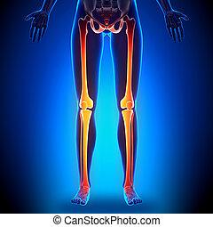 女性, 腿, -, 解剖學, 骨頭