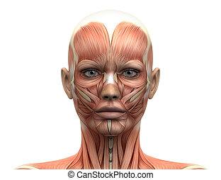 女性, 頭肌肉, 解剖學, -, 前面