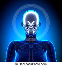 女性, 頭骨, /, 顱骨, -, 解剖學, 骨頭